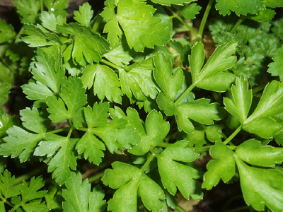 Parsley, Italian Flat Leaf-Herb Seeds