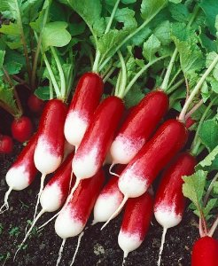 http://blueskyorganicfarms.com/wp-content/uploads/2015/12/french-breakfast-radish.jpg