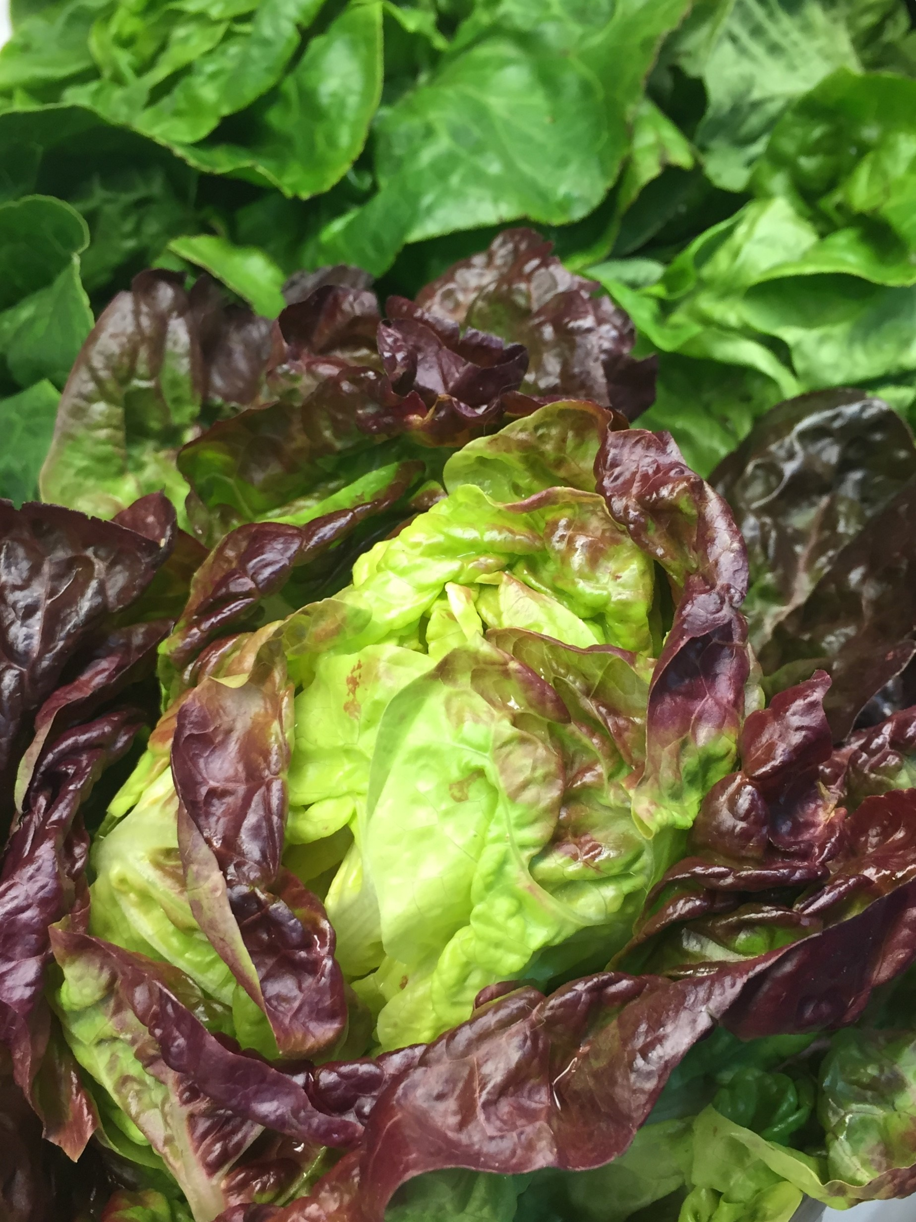 http://blueskyorganicfarms.com/wp-content/uploads/2018/09/Red-Butter-Lettuce.jpg