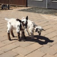 Baby Goats_2